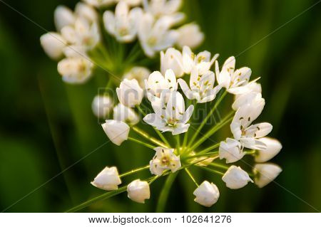 Artistic Soft Focus White Flowers On A Green Background