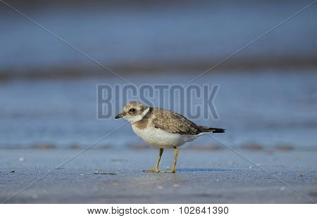 Ringed plover on the sand in front of the water