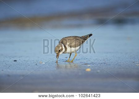 Ringed plover on the sand eating a worm