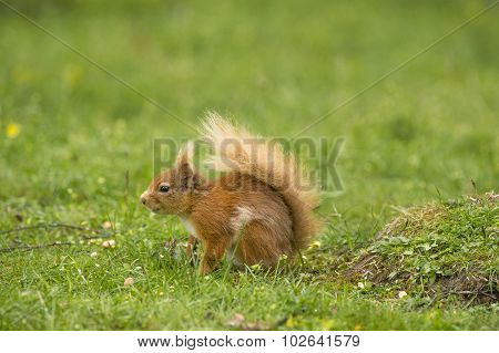 Red squirrel Sciurus vulgaris juvenile sitting on the grass