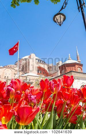 Red Tulips In Fornt Of The Aya Sofia Museum