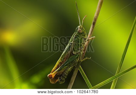 Grasshopper on a blade of dry grass