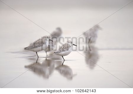 Sanderlings Calidris alba standing in the sea