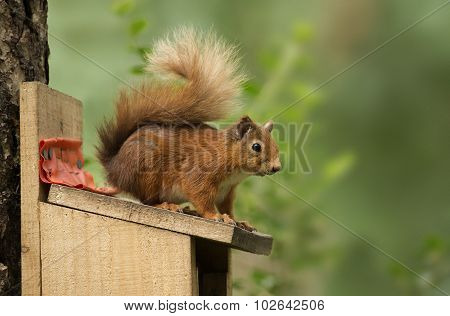 Red squirrel Sciurus vulgaris sitting on top of a feeding box close-up