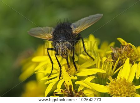 Tachinid fly resting on a dandelion in the Summer