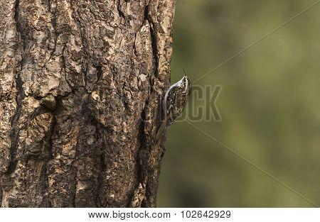 Treecreeper Certhia familiaris perched on a tree trunk