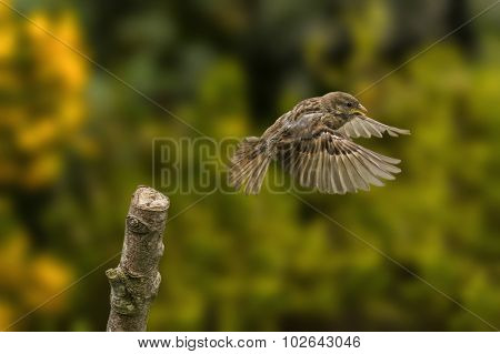Sparrow Passer domesticus flying from a branch