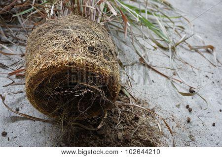 Root Of Lemongrass