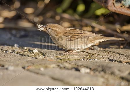 Sparrow Passer domesticus standing on pavement with bread in its beak