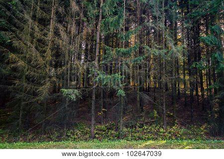 Fir Tree Forest