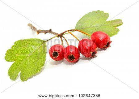 The Hawthorn (Crataegus oxyacantha). The total complex of plant constituents is considered valuable as a remedy for those with circulatory and cardiac problems.