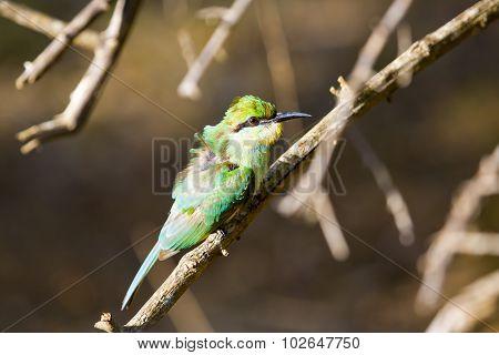 A Ruffled Green Bee Eater.