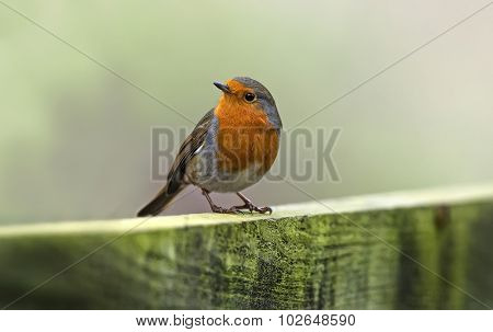 Robin Erithacus rubecula, perched on a fence