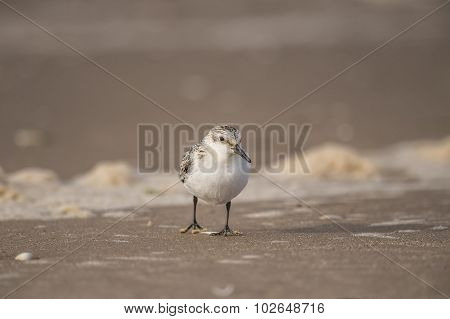 Sanderling Calidris alba on a sandy beach