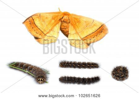 Eupterotidae Moth And Caterpillar