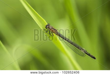 Damselfly perched on a blade of grass