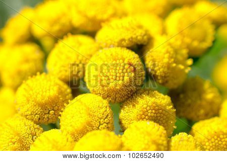 Flowers Of The Tanacetum.