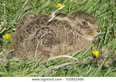 Brown Hare, Lepus, juvenile lying on the grass, close up