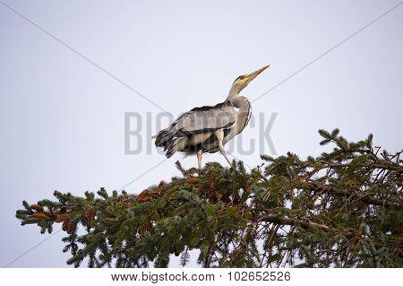 Heron, ardea cinerea, perched high in a pine tree