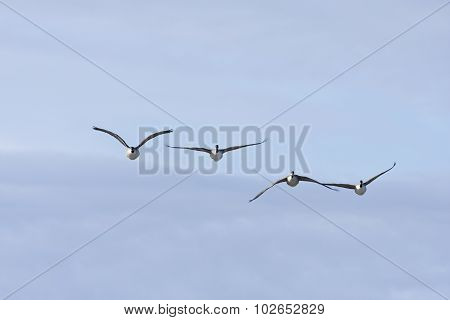 Canada goose in formation, bird migration.
