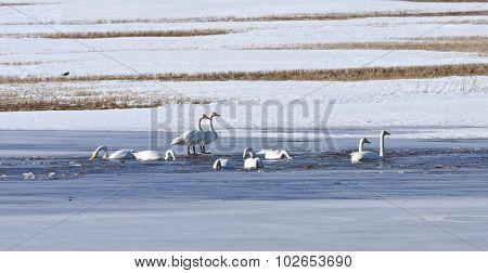 Whooper swan rest on a pond, bird migration.