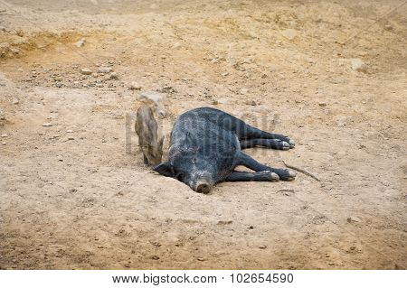 Dark wild pig lying in the sand