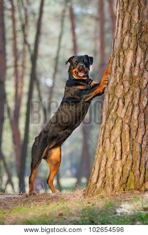 Beautiful Rottweiler dog breed standing on its hind legs, put his front paws on a tree in the park