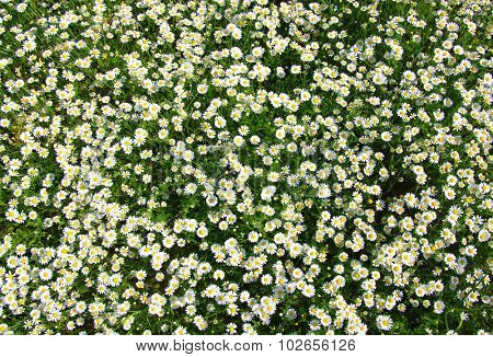 White camomiles  background