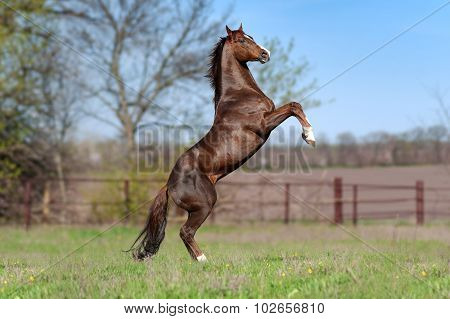 Beautiful brown stallion on a background of green blurry field in the spring.