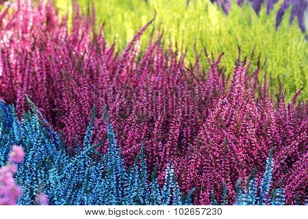 colorful heathers