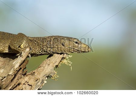 Monitor Lizard In A Tree.