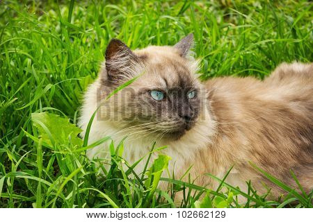 Cat With Blue Eyes Lies In Grass
