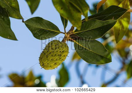 Magnolia Leaves In Summer