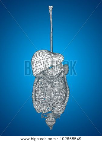Concept or conceptual anatomical human woman 3D wireframe mesh digestive system on blue background