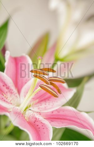 Pastel Pink Lily Flower