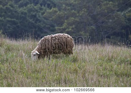 Shaggy Sheep Grazing In A Wild Meadow