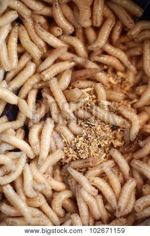 Many Maggots