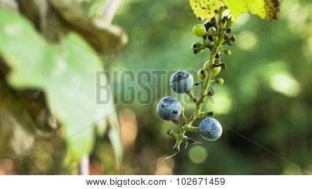 Three Wild Concord Grapes. Close Up.
