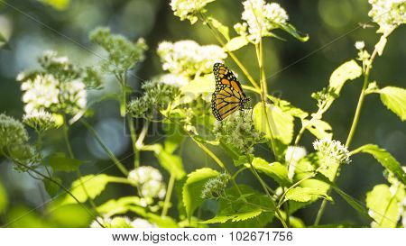 Monarch Butterfly Gathering Nectar on Common Boneset White Blooms.