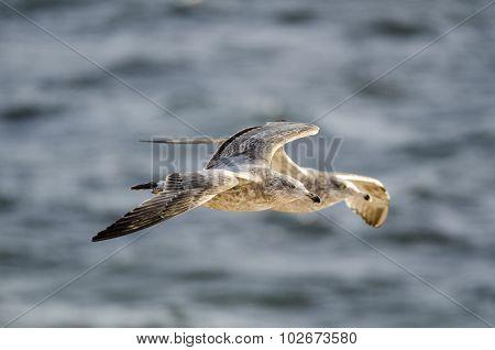 Pair Of Gulls In Flight