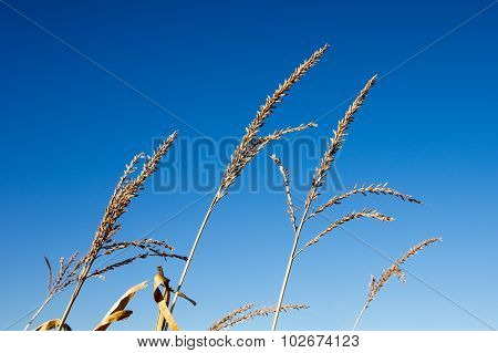 Dry Corn Tassels Against Blue Sky