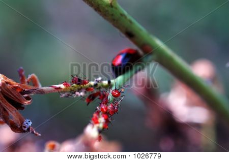Ladybird Lavras On Plant