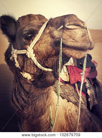Camel in the Thar Desert Transpotation Heat Concept