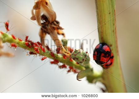 Scene Of Ladybird Family