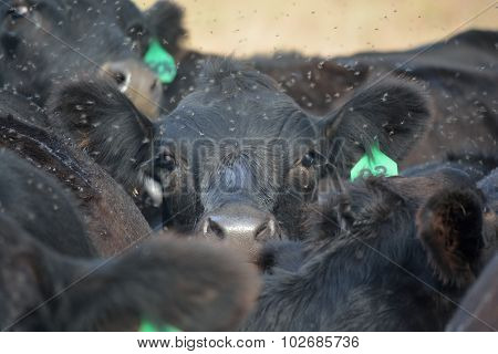 Black Angus Cow Struggles to see over herd