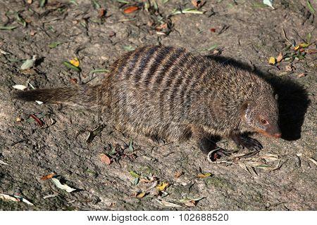 Banded mongoose (Mungos mungo colonus). Wild life animal.