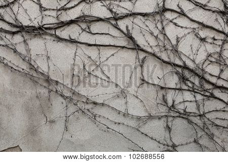 Old grey stucco wall covered with dry ivy. Background texture.