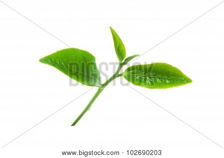 Green tea leaves isolated on white background.