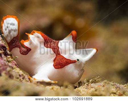 Clown Frogfish