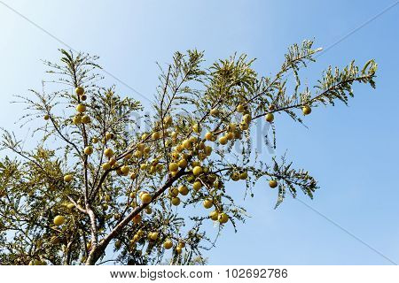 Indian Gooseberry tree flooded with fruits on a light blue sky background